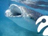 Denizlerde Yaşayan En Büyük Canlı: İşte 18 Metrelik Dev